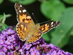 Butterfly painted lady pic