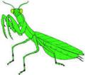 Praying mantis adult