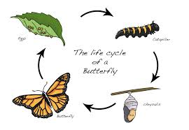 Butterfly life cycle of