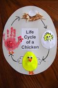 Chick life cycle idea